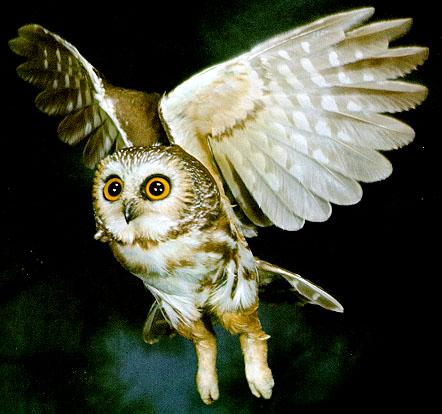 معلومات عن البومه Liphard_website_flying_owl